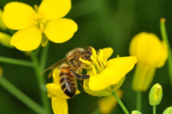 As abellas poderían estar 'enganchadas' aos neonicotinoides usados como pesticidas.