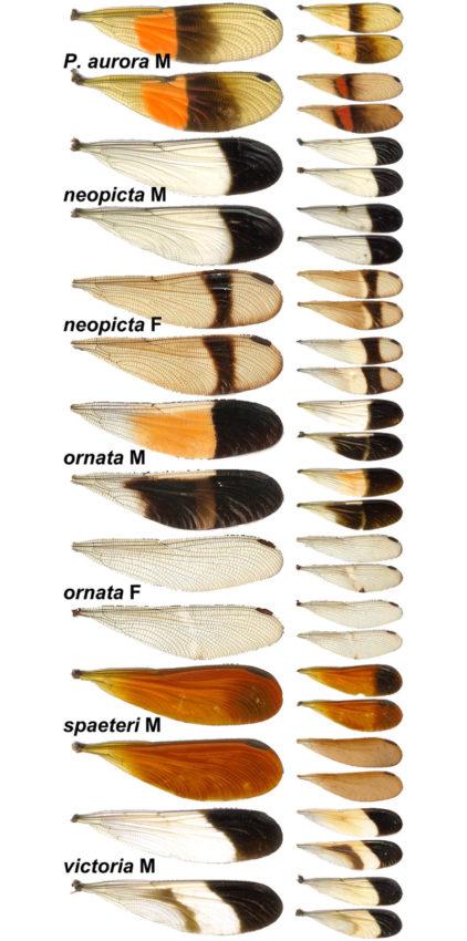 Diferentes alas de cabaliño do demo.