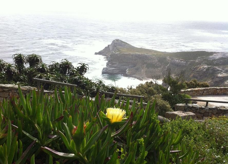 Exemplar de carpobrotus, a 'uña de gato', unha planta invasora que coloniza o litoral galego.