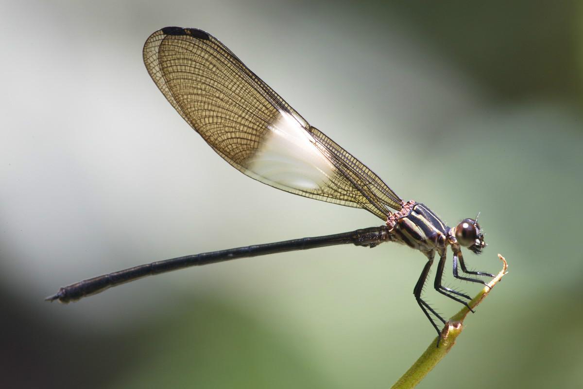 A investigación internacional permitiu facer unha nova clasificación das libélulas do Amazonas.