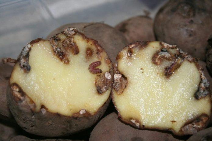 Patacas afectadas pola couza guatemalteca.