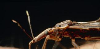 Rhodnius Prolixus, o insecto principal vector do mal de Chagas.