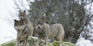 Unha manda de lobos ibéricos.