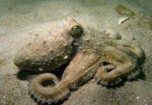 Exemplar de polbo adulto na praia de Rodas, nas illas Cíes.