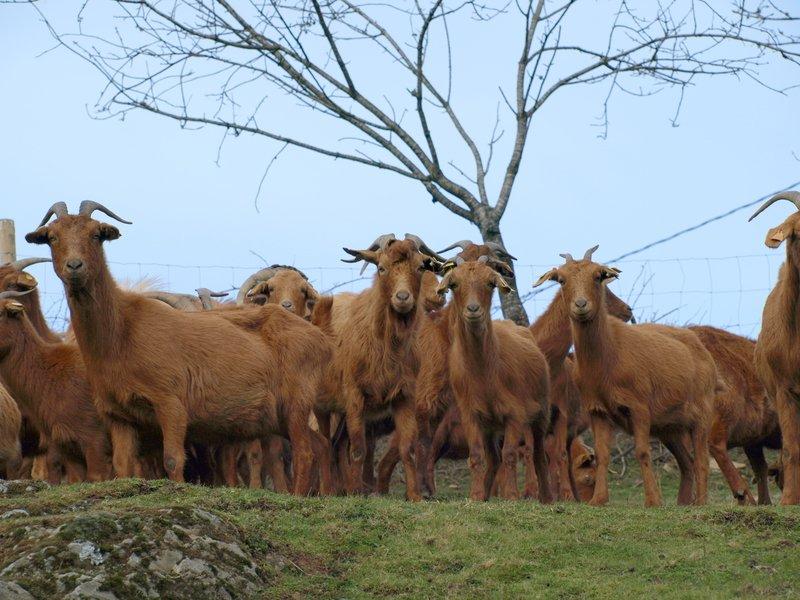 Exemplares de cabra galega/ Boaga