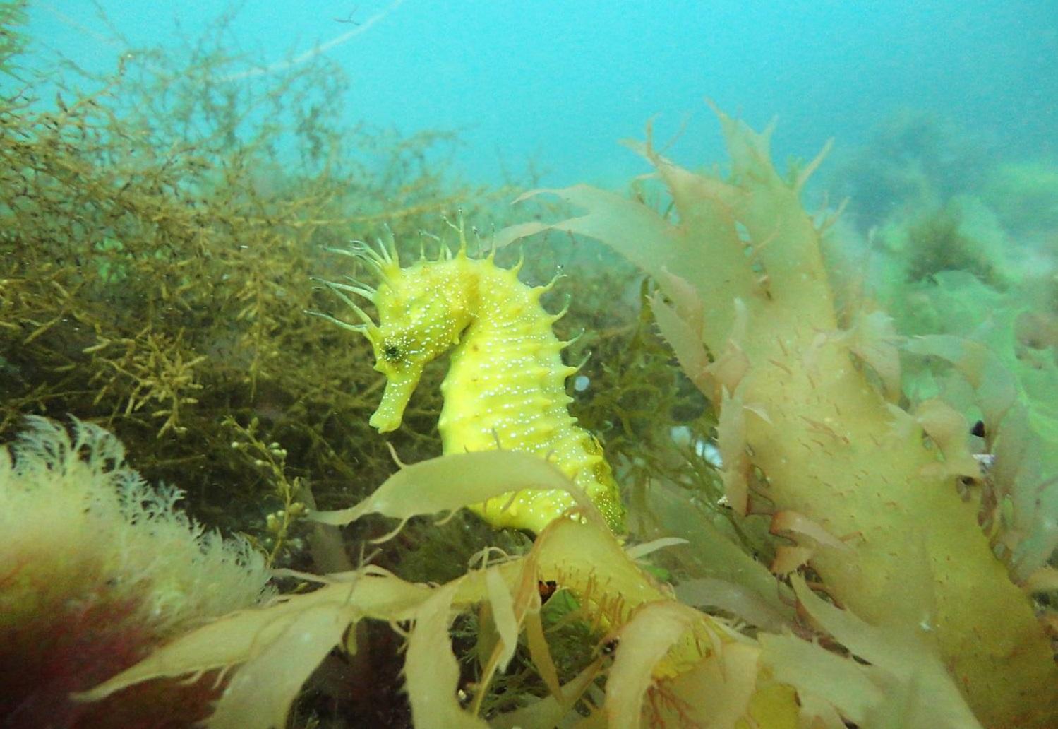 Hippocampus Guttulatus, o cabaliño de mar narizón que habita as rías galegas. Foto: CSIC.
