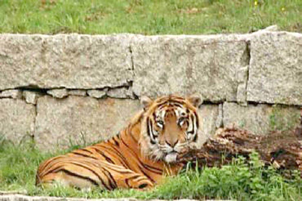 Duches, a tigresa que vivía no zoo de Vigo.