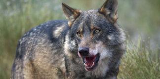 O lobo ibérico en Galicia tivo que mudar a súa alimentación tras a crise das 'vacas tolas'.