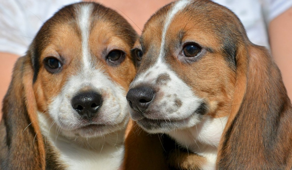 Cans nacidos tras fecundación in vitro, na Universidade Cornell.