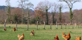 Exemplares de galiña de Mos.