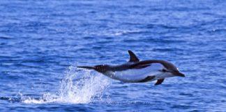 Golfiños e candorcas teñen altas concentracións de PCB.