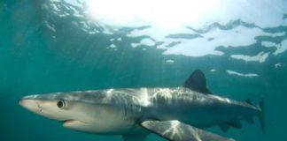 A quenlla azul, unha das máis explotadas nos océanos.