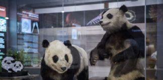 Chu-Lín e a súa nai, Xao Xao, disecados na vitrina do Museo de Ciencias Naturais.