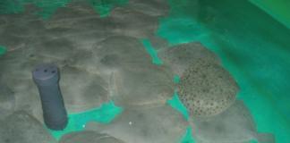 A investigación sobre os rodaballos podería ter aplicacións en plantas acuícolas