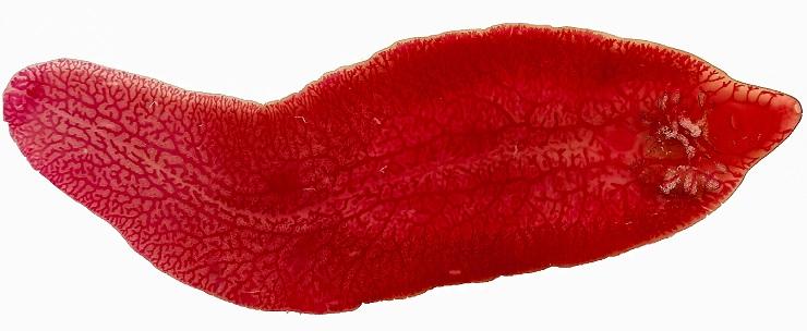 O verme da Fasciola hepática, que parasita o fígado.