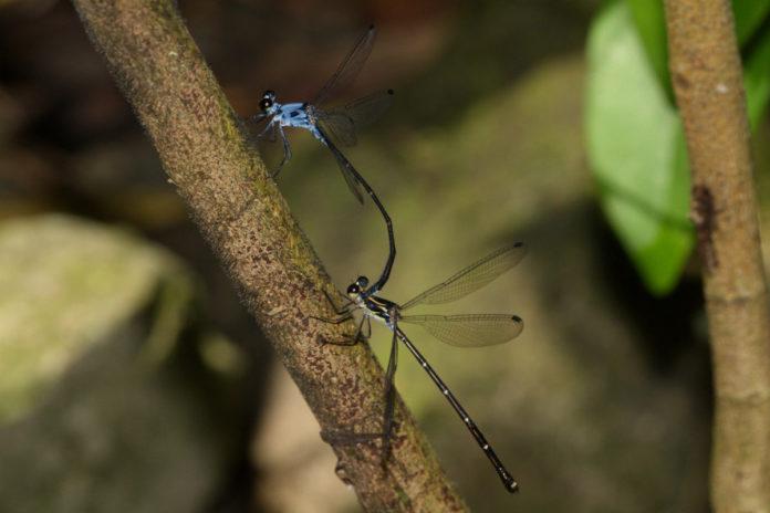 A nova libélula foi descrita polos investigadores galegos.