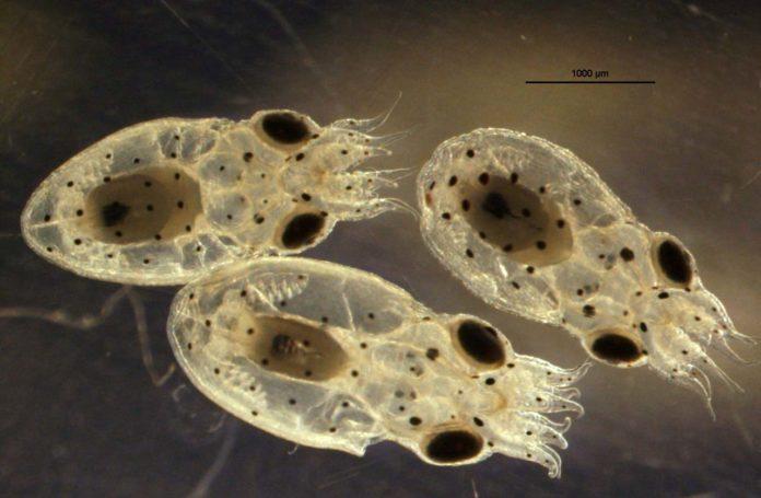 Larvas de polbo común.