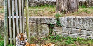 Martín, o novo tigre de Vigozoo, fará compaña a Kenia.