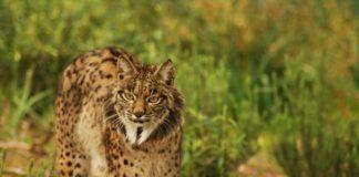 Lince ibérico (Lynx pardinus).