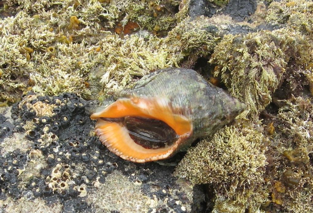 Stramonita haemostoma, unha especie subtropical adaptada a Galicia.