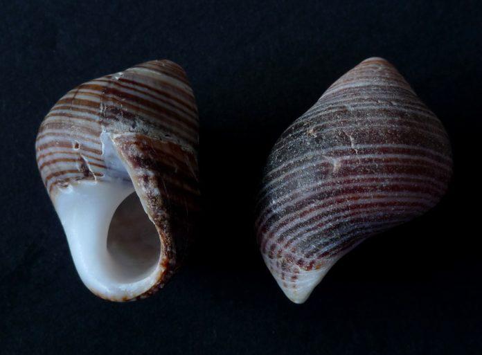 Unha variedade do caracol mariño chamado Littorina.