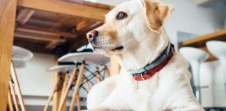 O potente olfacto dos cans é sensible ao isopreno, un composto presente no alento | Foto: Dominio Público.