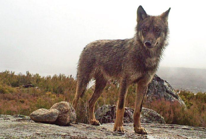 Galicia é a segunda comunidade con maior número de lobos, por detrás de Castela e León