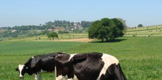Vacas en pastoreo en parcelas con trevo no CIAM.