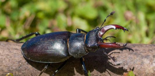 Os machos empregan as súas mandíbulas para loitar entre si na procura das femias. Foto: Dani Monteagudo.