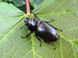 A vacaloura (Lucanus cervus), pertence á orde dos coleópteros, unha das máis ameazadas segundo a revisión. Foto: Ignacio Delgado.