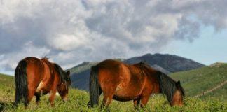 Dúas reses, nos montes mindonienses.