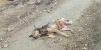 O can abatido na cazaría do lobo en Friol, en foto facilitada por Adega.