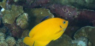 Os peixes anxo ananos teñen cores chamativas que son clave no proceso reprodutivo. Foto: Luiz Rocha.