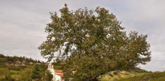 O castiñeiro común (Castanea sativa), presente en Galicia.
