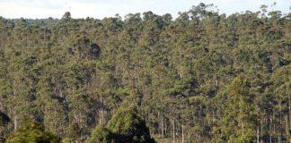 Bosque de eucaliptos, que o Comité Científico de Flora e Fauna Estatal recomenda declarar invasor.