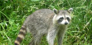A presenza do animal en Galicia podería ter a súa orixe nunha fuga do parque de Marcelle.