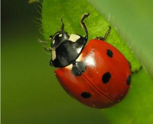 A maruxiña (Coccinella septempunctata) tamén ofrece numerosas variantes para denominala.