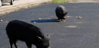 Un exemplar de porcoril, en primeiro plano, en Sas de Penelas (Castro Caldelas).