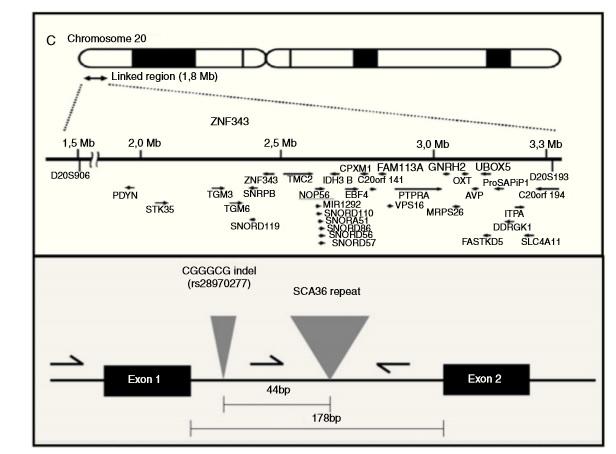 Situación do xen NOP56 no cromosoma 20 e detalle da mutación da SCA36.