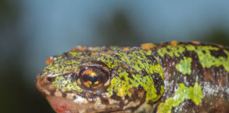 Tritón verde con evidentes síntomas de ranavirosis. Fotos: Gonçalo M. Rosa.