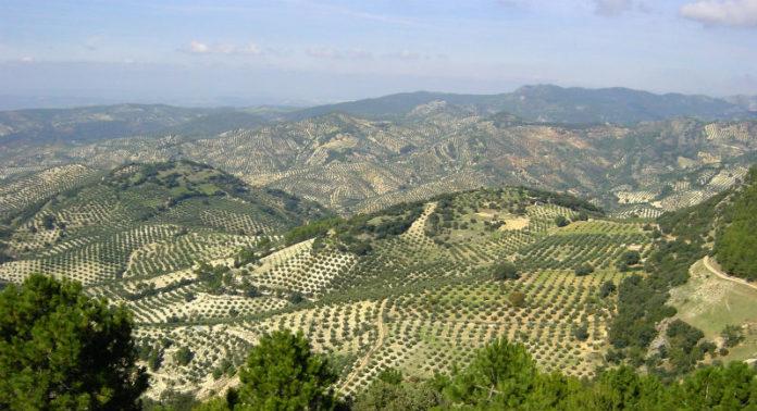 Na imaxe, campos de oliveiras en Jaén. En Galicia, zonas como Quiroga, Valdeorras ou algúns puntos da provincia de Pontevedra poderían desenvolver o seu potencial oliveiro.