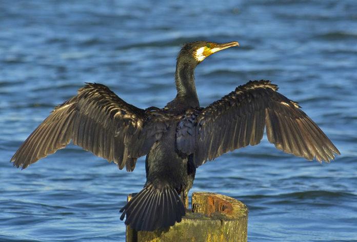 Exemplar de corvo mariño grande (Phalacrocorax carbo).
