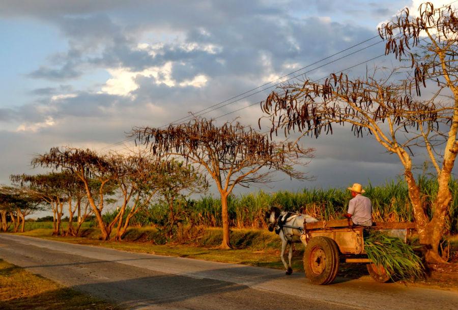 Campos de cana de azúcar en Granma (Cuba).