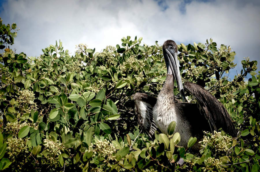 Ave das Illas Galápagos (Ecuador).
