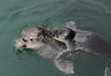 Familia de focas no Piscinarium Foto: mc2 Coruña