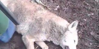 Captura do vídeo difundido pola Garda Civil, que amosa ao lobo abatido. Imaxe: Garda Civil.