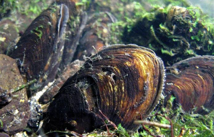 O mexillón de río é unha especie filtradora e bioindicadora da calidade das augas. Foto: USC.