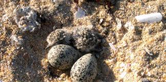 Unha cría de píllara, a carón de dous ovos nun dos seus niños. Foto: María Vidal.