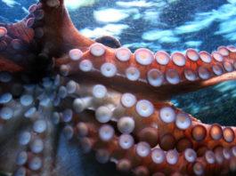 O mercado europeo é o principal destino de especies coma o polbo. Foto: USC.