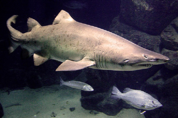 O tiburón Gastón.
